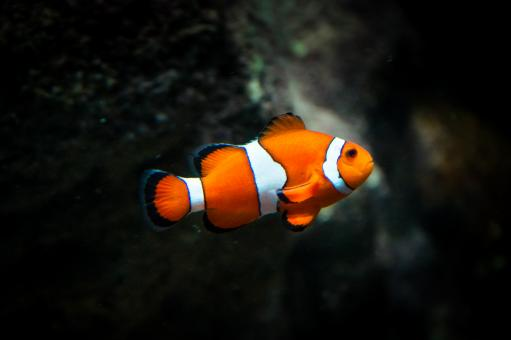 Free Stock Photo of Clownfish Fish