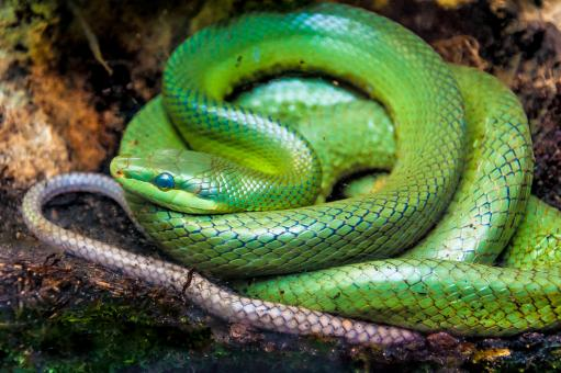 Free Stock Photo of Green pit viper