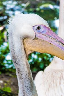 Free Stock Photo of Pelican close up