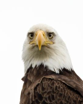 Free Stock Photo of American Bald Eagle