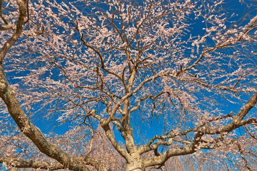 Free Stock Photo of Cherry Blossom Tree Close-up - HDR