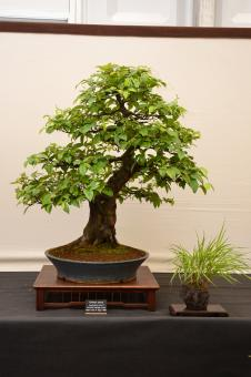 Free Stock Photo of Chinese quince bonsai