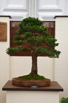 Free Stock Photo of Hinoki cypress bonsai