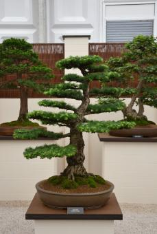 Free Stock Photo of European larch bonsai