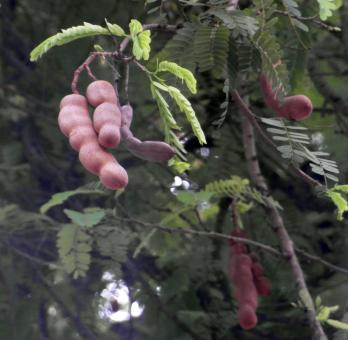 Free Stock Photo of Tamarind Fruit Tree