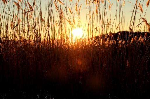 Free Stock Photo of Sunset through grass