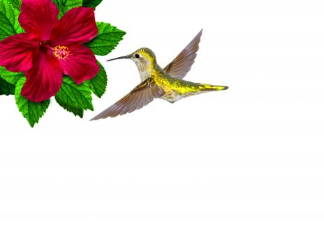 Free Stock Photo of Ruby-throated hummingbird hovering
