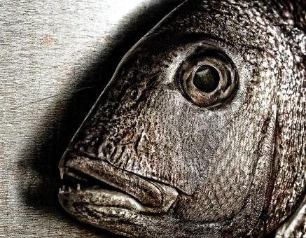 Free Stock Photo of Fish face - Closeup of a snapper