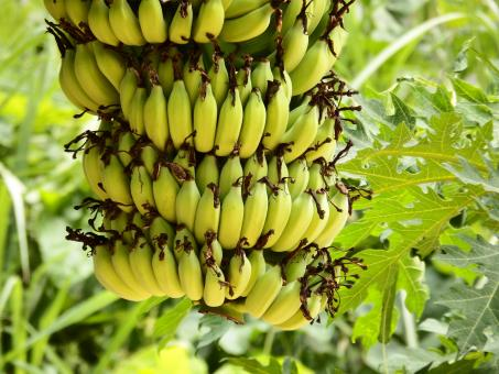 Free Stock Photo of Banana Bunch Growing