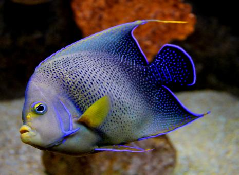 Free Stock Photo of Blue Angelfish - Pomacanthus semicirculatus