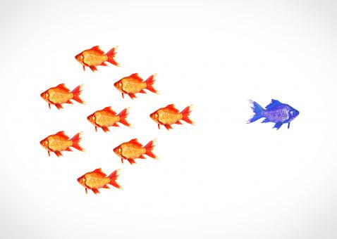 Free Stock Photo of Standing out from the crowd - A blue goldfish escapes from the shoal