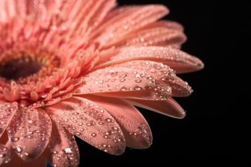Free Stock Photo of water drops on flower petals