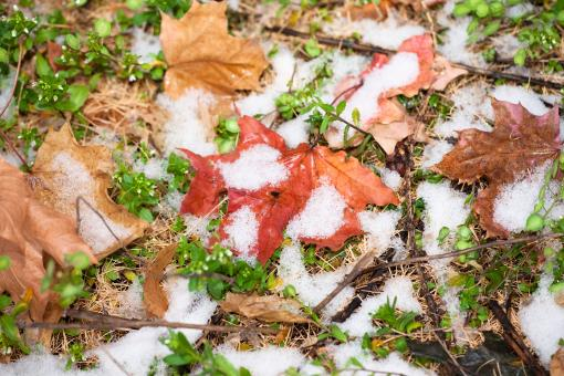 Free Stock Photo of winter snow and autumn leaves
