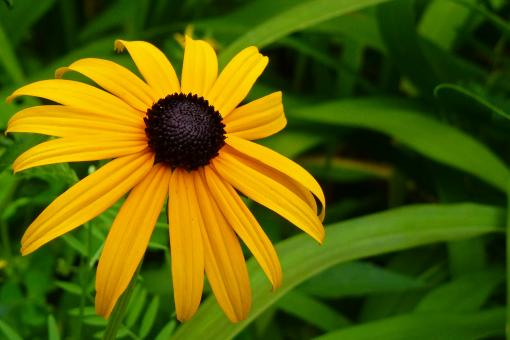 Free Stock Photo of Black Eyed Susan Flower Close Up