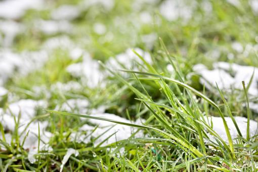 Free Stock Photo of grass in the snow