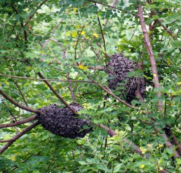 Free Stock Photo of Wasp Nests