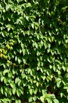 Free Stock Photo of Leaves of creeper