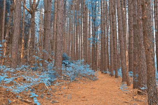 Free Stock Photo of Cranesville Swamp Pine Trail - Sapphire Fantasy HDR