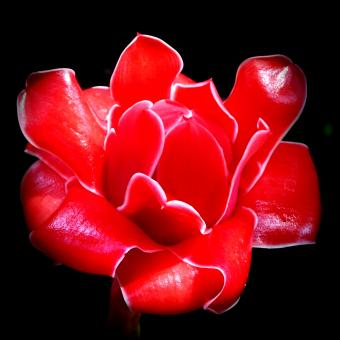 Free Stock Photo of Red Tropical Flower on Black Background