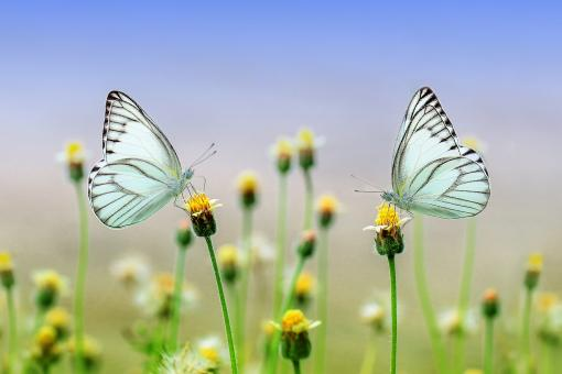 Free Stock Photo of White butterfly on a flower