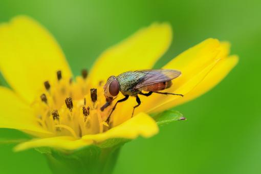 Free Stock Photo of Fly on flower