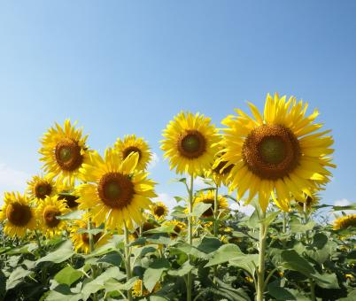 Free Stock Photo of Sunflower Field