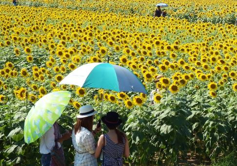 Free Stock Photo of People in a Sunflower Field