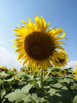 Free Stock Photo of Single Sunflower on Blue Sky Background