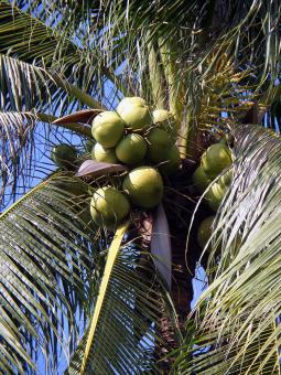 Free Stock Photo of Coconuts in tree