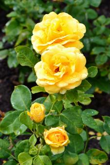 Free Stock Photo of Hybrid tea roses 'You Are My Sunshine'