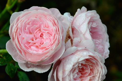 Free Stock Photo of English rose 'Queen Of Sweden'
