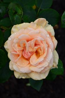 Free Stock Photo of Hybrid tea rose 'Royal Parks'