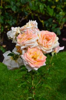 Free Stock Photo of Hybrid tea rose 'Creme Caramel'