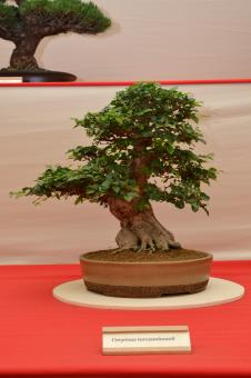Free Stock Photo of Korean hornbeam bonsai