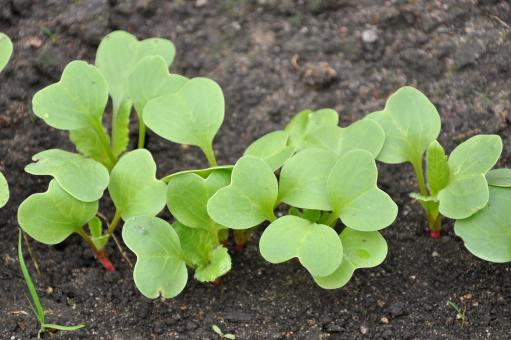 Free Stock Photo of Radish seedlings