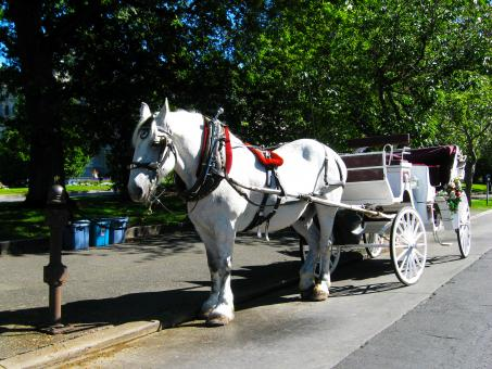 Free Stock Photo of White horse carriage