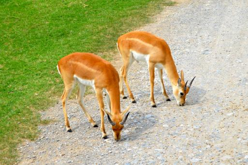 Free Stock Photo of young antelopes