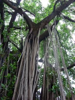 Free Stock Photo of Aerial Roots
