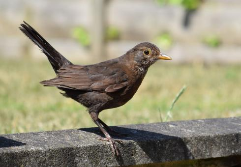 Free Stock Photo of Female Blackbird