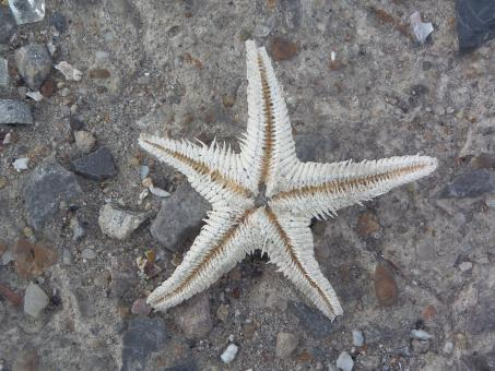 Free Stock Photo of Starfish