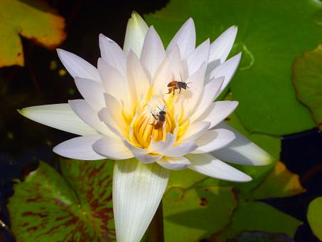 Free Stock Photo of Bees on Lotus Flower