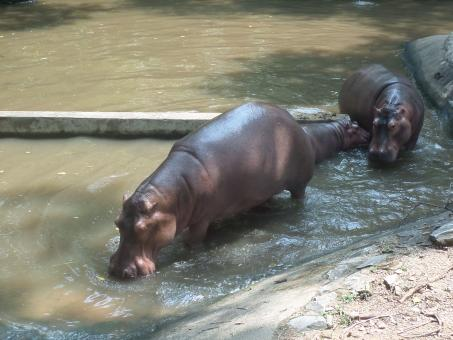 Free Stock Photo of Hippos in zoo pond