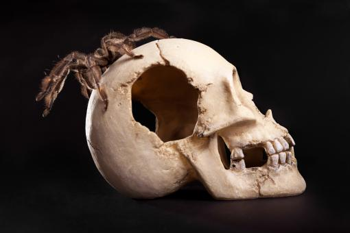 Free Stock Photo of Spider on Human Skull