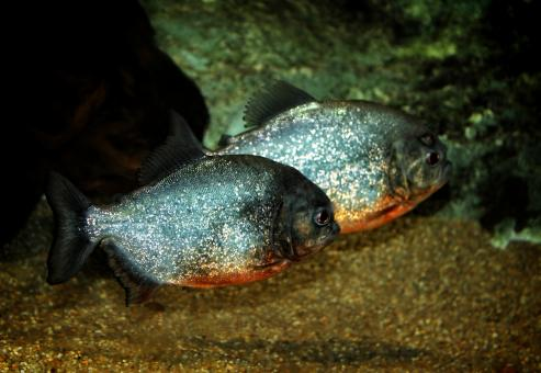Free Stock Photo of Red-bellied Piranhas - Tropical Fishes