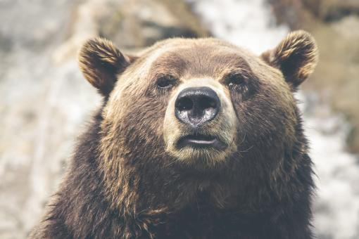 Free Stock Photo of Grizzly