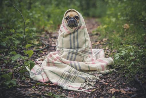 Free Stock Photo of Dog wrapped in blanket