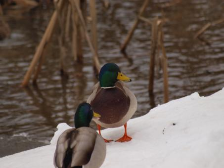 Free Stock Photo of Ducks in Winter