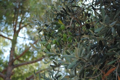 Free Stock Photo of Olive tree