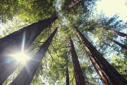 Free Stock Photo of Very Tall Trees