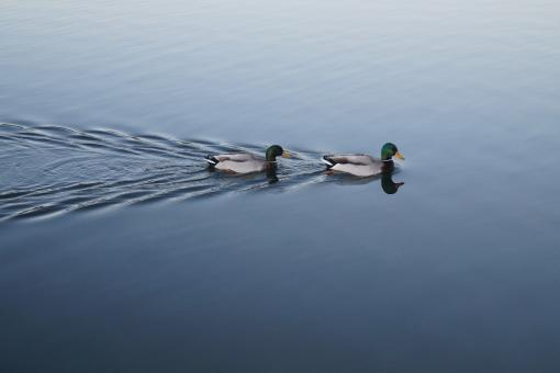 Free Stock Photo of Duck swimmers